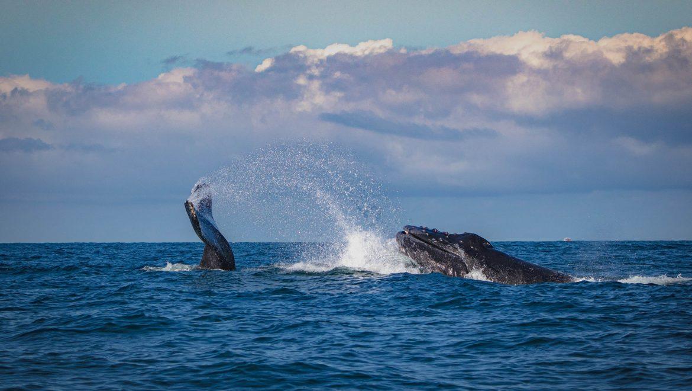 לוויתנים פוארטו ויארטה